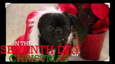 Funny Twelve Days of Christmas- Singing Dog Edition! Christmas Animals, Christmas Dog, Christmas Photos, Funny Dog Memes, Funny Dogs, Cute Dogs, Twelve Days Of Christmas, Dog Boarding, Rescue Dogs