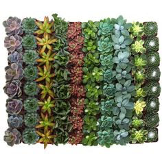 Assorted Mix - String of Pearls Plant - Succulent - Succulents & Cactus Plants - Plants & Garden Flowers - The Home Depot Succulent Pots, Planting Succulents, Rare Succulents, Wedding Events, Wedding Favors, Wedding Receptions, Wedding Decorations, Wedding Ideas, Succulent Landscaping