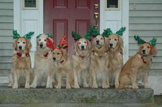 Happy Holidays From The Celebration Gang 2012! A Maine GR breeder posts a wonderful picture of her happy crew of goldens to my forum.