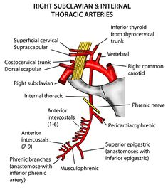 Print Anatomy of the Arteries of the Trunk - Lecture 5 flashcards and study them anytime, anywhere. Anatomy Study, Body Anatomy, Arteries Anatomy, Abdominal Aorta, Subclavian Artery, Interventional Radiology, Medicine Notes, Medical Mnemonics, Cardiac Nursing