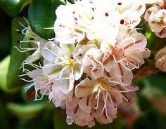 eriogonum_parvifolium_blooms