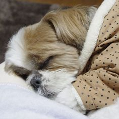 10 Shih Tzu Breed Facts