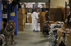El Deposito Nacional de Fauna Salvaje es el único lugar de Estados Unidos que almacena una colección tan grande de objetos confiscados de fauna salvaje. Ofrece un macabro vistazo al coste del tráfico internacional de animales amenazados y en peligro. (AP)