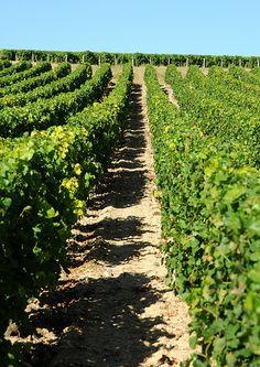 3 000 hectares de ceps, Sancerre, France.