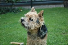 Teun Norwich Terrier | Flickr - Photo Sharing!