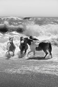 On hot summer days, the wild ponies of Assateague Island love to swim just as much as we do! Just minutes from Ocean City. Photo by Mark Miller #ocmd