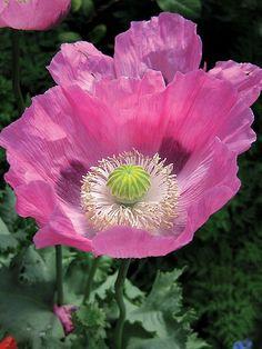 Papaver 'Кекс' Красивые великолепные красивые цветы