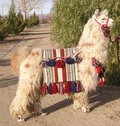 Our llama, Arturo