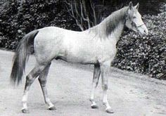 Seyal (Mesaoud x Sobha) 1897 stallion  Sire of Berk, the paternal grandsire to Rosina[imp].