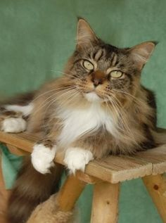 brown and white maine coon cat with big green eyes