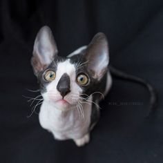 Cornish Rex Kitten, Curly Cat, Laperm, Domestic Cat Breeds, American Wirehair, What Is Cute, Selkirk Rex, Devon Rex, Cute Baby Cats