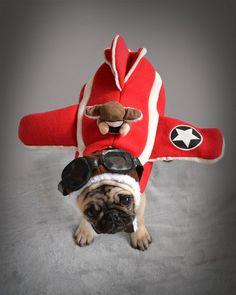 Our Pug Boo The Pilot Flying His Plane #pugcostume #pughalloween #pugaviator #pugpilot #pugplane #pugairplane #PilotsNPaws #pugpuppy #cutepug