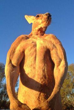 Roger le kangourou bodybuildé - http://www.2tout2rien.fr/roger-le-kangourou-bodybuilde/