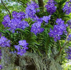 Stock image of 'Blue vanda or Autumn Lady's Tresses orchid. Vanda coerulea flower.'