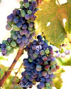 Wine Grapes Photography, Multicolored Grapevine Photo Vinyard ...