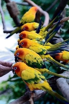 Sun Conures in the wild!!!