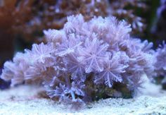 "Pulsing Xenia coral is an interesting invertebrate in that each extension has small, feathery-like polyps that will contract (""pulse"") together. This coral is an entertaining addition to a saltwater tank. The reason for why these corals pulse is still a mystery - however, it is known that factors such as water, lighting intensity, and nutrients in the water column play a part. Aqua-cultured specimens tend to reproduce quickly, so it's advised to leave plenty of space around this coral for…"