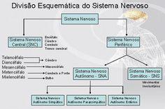 divisão esquemática do sistema nervoso