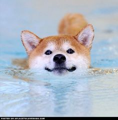 Shiba Inu Dog Swimming • APlaceToLoveDogs.com • dog dogs puppy puppies cute doggy doggies adorable funny fun silly photography