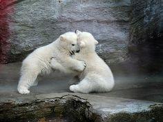 #cute #polar #bear
