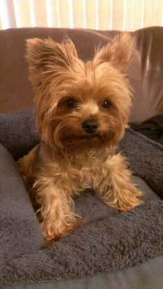 """I'm up for playing, first a treat!"" #dogs #pets #YorkshireTerriers Facebook.com/sodoggonefunny"