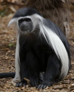 Gorgeous! George is one of three Angolan colobus monkeys in the mixed-species monkey habitat in The Ford African Rain Forest.