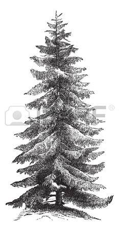 spruce tree: Norway Spruce or Picea abies or European Spruce, vintage engraving. Old engraved illustration of Norway Spruce tree.