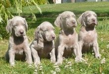 Elevage D'Arguiller d'Anjou Elevage canin et pension canine +++ Golden Retriever, Cocker