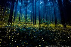 Magnificent photographs of fireflies from Japans summer