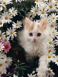 Domestic Cat, Turkish Van Kitten Among White Dasies with Pink Primulas