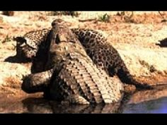 Humans protect pregnant cow when giant anaconda kills it wooooow live crocodile attacks animal to death and eat craziest crocodile fights caught on camera freerunsca Image collections