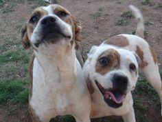 Pitbull staffy dogs