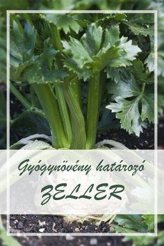 A Zeller népies neve: Celler. Hogyan gyűjtsük a Zeller gyógynövényt? A növénynek mind a termését, gumóját, mind pedig a felső zöld részét hasznosítják. Zöldje a májusi palántázási időszak után folyamatosan szedhető, gumója őszre húsosodik. Celery, Health Fitness, Medical, Herbs, Vegetables, Nature, Plant, Naturaleza, Veggies