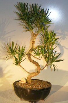 Flowering Podocarpus Bonsai Tree Curved Trunk Style - Large (podocarpus macrophyllus)