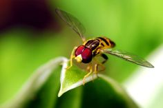 Hoverfly, You are cleared for takeoff from leaf 9. Photo by Chris Crowder.