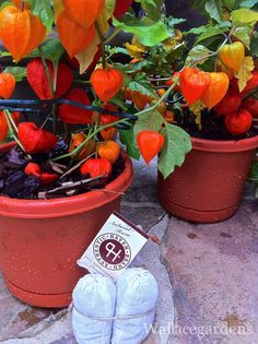 Pumpkin Lantern plants fed Authentic Haven Brand keep your Fall/Winter gardens and indoor plants fed naturally