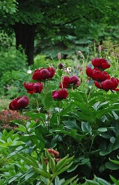 Paeonia 'Arcturus' what's not to love about peonies named after stars? Flower Garden, Planting Flowers, Plants, Charming Garden, Beautiful Flowers, Peonies Garden, Perennials, Flowers, Beautiful Gardens