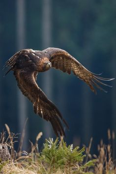 Photograph Forest majesty by John Gooday on Golden Eagle (Aquila chrysaetos) flying through a pine forest All Birds, Birds Of Prey, Love Birds, Pretty Birds, Beautiful Birds, Animals Beautiful, Eagle In Flight, Birds In Flight, Bird Of Prey Tattoo
