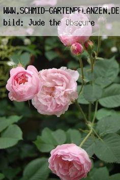 Major of Casterbridge - Englische Rosen