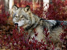 Autumn Wolf Wallpaper 1280x960