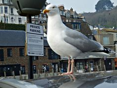 It's all very well for the seagull to have reserved 'Private Parking' when in Looe, Cornwall but what about the rest of us when we visit. Long Weekend Breaks, Engine House, Animal Humour, South West Coast Path, Photo Walk, The Rest Of Us, Truro, Tall Ships, 15th Century