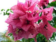 Bougainvillea, a popular Caribbean flower...