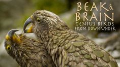 """Beak and Brain: Genius Birds From Down Under"" - 52m (2013) :: Via New On Netflix USA  Whoever came up with the term 'bird brain' never met these feathered thinkers, who use their claws and beaks to solve puzzles, make tools and more."