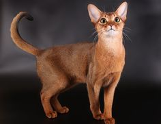 Abyssinian Cat: Looks, Personality, and How to Care for Your Abyssinian Cat