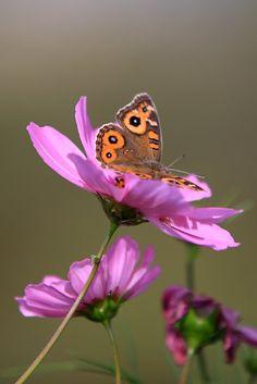 Butterfly in Cosmos Flower