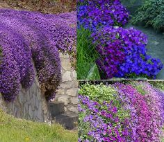 Aubretia MIX X50 Seeds Colourful Rockery Garden Groundcover | eBay