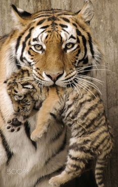 Tiger baby - Tiger mother shows her newborn #BigCatFamily
