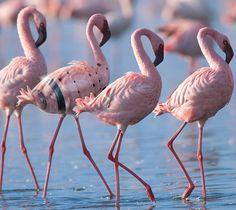 Fenicotteri Rosa, Delta del Po | Pink Flamingos, Po Delta, Emilia-Romagna, Italy