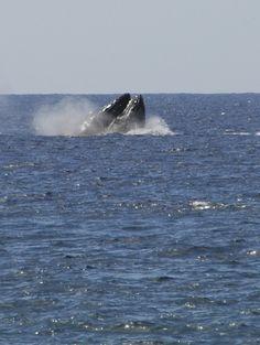 Crazy humpback whale action off Kihei, Maui