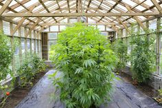 The Surprising Solution for Growing Sustainable Marijuana